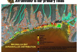Avrainvillea Distribution - Maunalua Bay